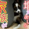 小型犬種:パピヨン。うちのコを紹介します。